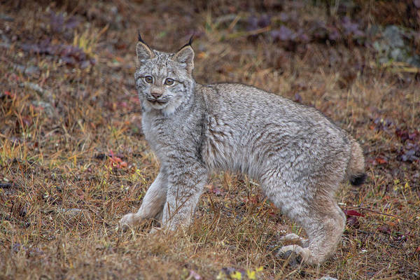 Photograph - Canada Lynx Kitten  7392 By Tl Wilson Photography by Teresa Wilson