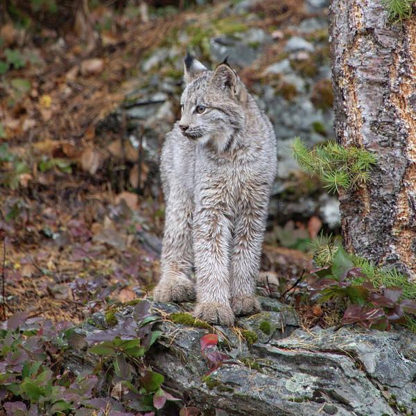 Photograph - Canada Lynx Kitten 7524 By Tl Wilson Photography by Teresa Wilson