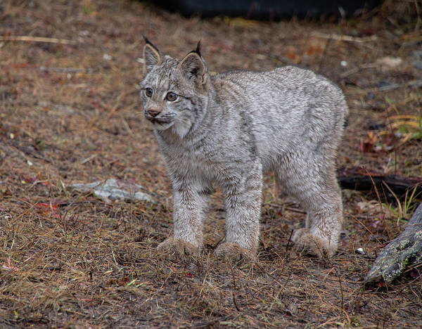 Photograph - Canada Lynx Kitten 7545 By Tl Wilson Photography by Teresa Wilson