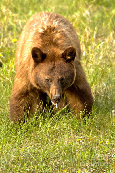 Photograph - Canadian Black Bear On The Prowl by Adam Jewell