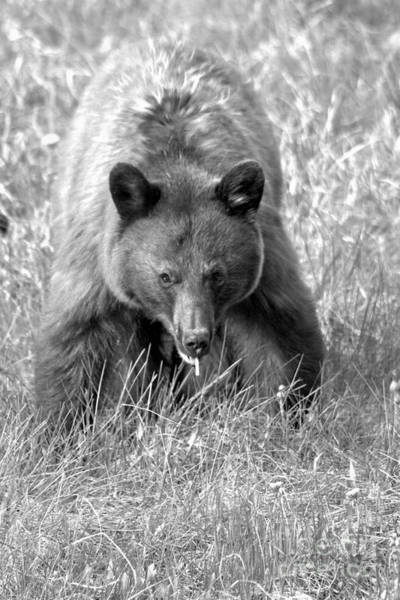 Photograph - Canadian Black Bear On The Prowl Black And White by Adam Jewell