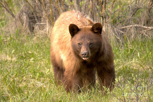 Photograph - Canadian Cinnamon Black Bear Landscape by Adam Jewell