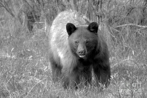 Photograph - Canadian Cinnamon Black Bear Landscape Black And White by Adam Jewell