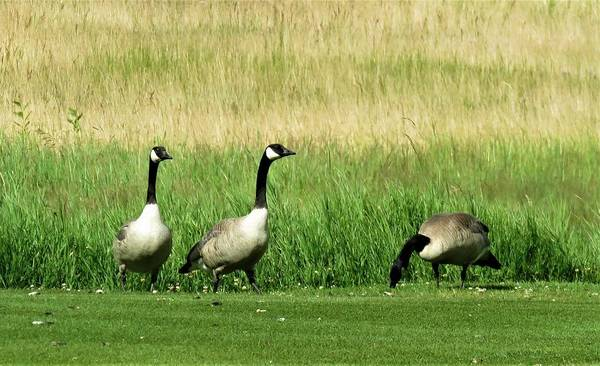 Photograph - Canadian Geese 3s Company1  by Joan Stratton