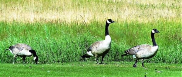 Photograph - Canadian Geese 3s Company2 by Joan Stratton