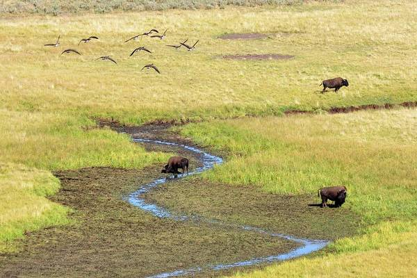 Photograph - Canadian Geese And Bison, Yellowstone by Brian Bruner