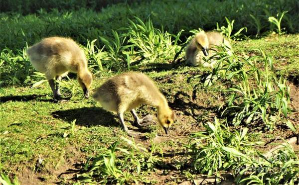 Wall Art - Photograph - Canadian Geese Chicks           May         Indiana by Rory Cubel
