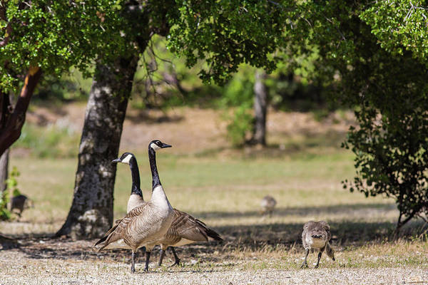 Wall Art - Photograph - Canadian Geese Family by Julieta Belmont