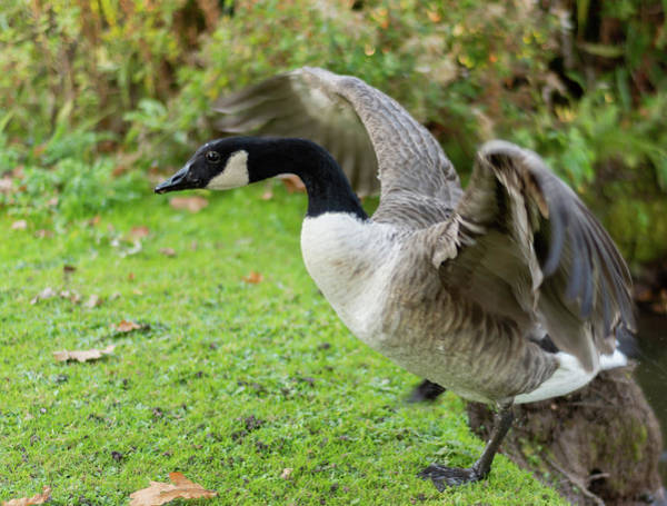 Photograph - Canadian Goose With Wings Stretched by Scott Lyons