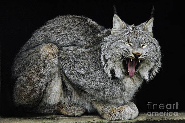 Photograph - Canadian Lynx by Larry Ricker