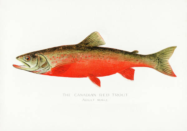 Drawing - Canadian Red Trout by David Letts