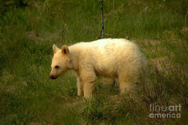 Photograph - Canadian Rockies White Black Bear Cub by Adam Jewell