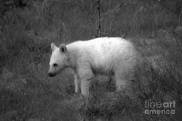 Photograph - Canadian Rockies White Black Bear Cub Black And White by Adam Jewell