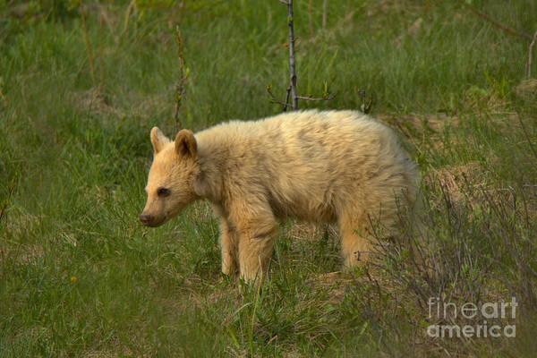 Photograph - Canadian White Black Bear Cub by Adam Jewell
