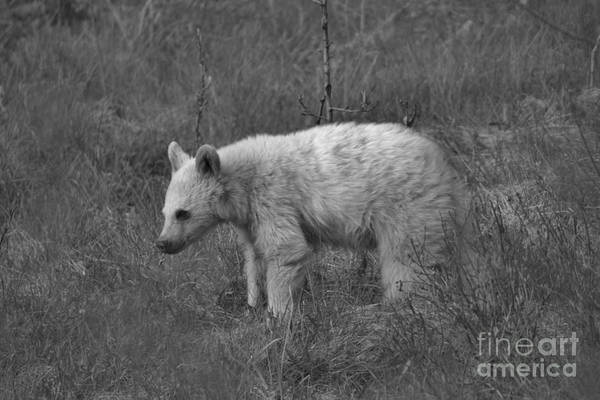 Photograph - Canadian White Black Bear Cub Black And White by Adam Jewell