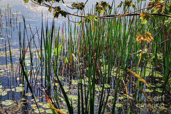 Wall Art - Photograph - Canandaigua Lake Marsh Reeds by William Norton
