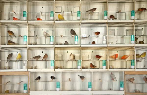 Birdcage Photograph - Canary Birds by Carlo A