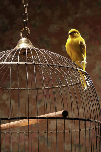 Birdcage Photograph - Canary Perching Atop Birdcage by Pm Images