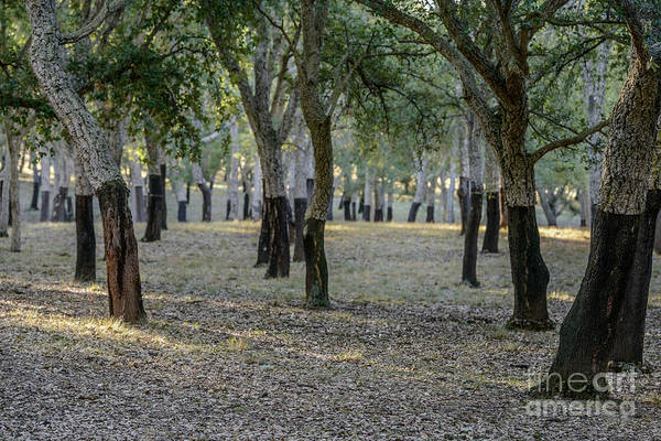 Photograph - Canberra Cork Plantation 01 by Werner Padarin
