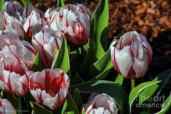 Photograph - Candy Cane by Diana Mary Sharpton