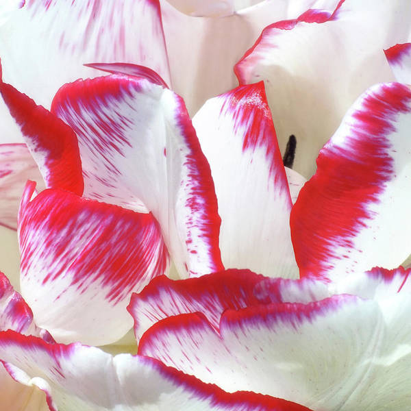 Photograph - Candy Cane Tulip by Kathi Mirto