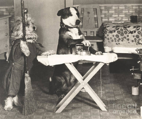 Wall Art - Photograph - Canine Chores by Everett Collection