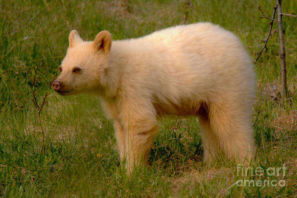 Photograph - Canmore White Black Bear Cub by Adam Jewell