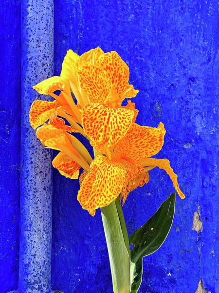 Photograph - Canna Azure by Jill Love