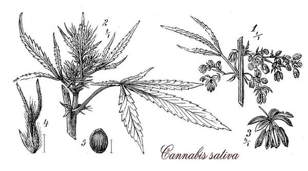 Cultivation Digital Art - Cannabis Sativa,botanical Vintage Engraving by Luisa Vallon Fumi