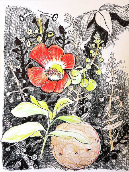 Drawing - Cannonball Flower Botanical by Tilly Strauss