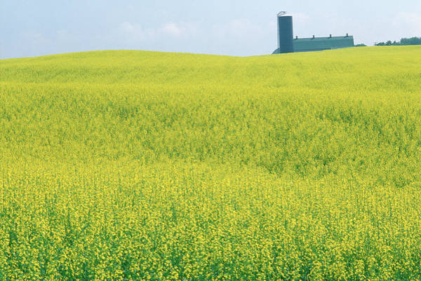 Grain Elevator Photograph - Canola Field, Barrie, Ontario, Canada by Radius Images
