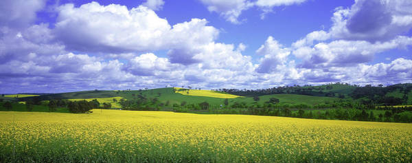 Wall Art - Photograph - Canola Field by Photolibrary