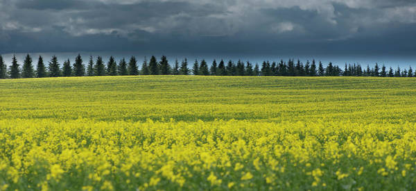Photograph - Canola by Philip Rispin