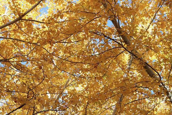 Photograph - Canvas Of Yellow Leaves by Carol Groenen