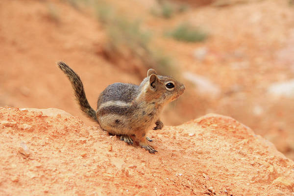 Photograph - Canyon Chipmunk by Dawn Richards
