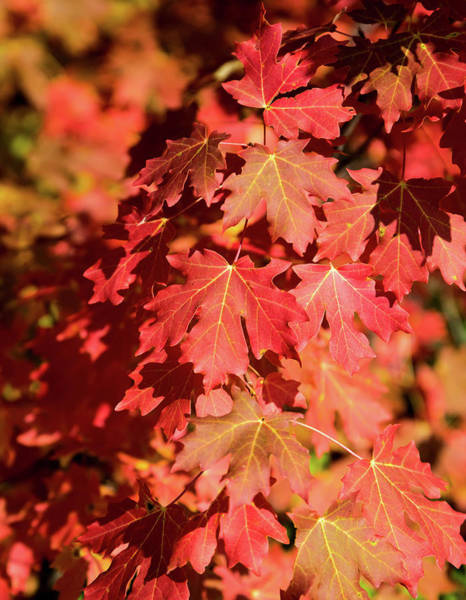 Photograph - Canyon Maple Leaves by Michael Chatt