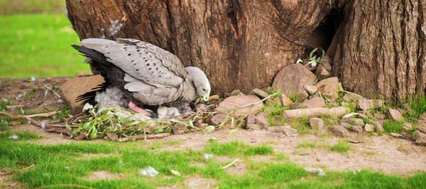 Photograph - Cape Barren Goose by Rob D Imagery