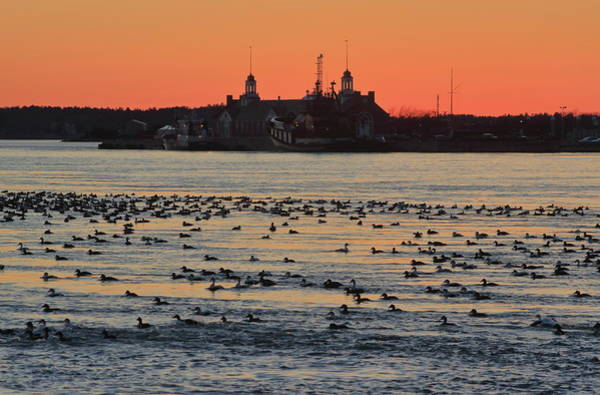 Wall Art - Photograph - Cape Cod Canal Eider Ducks At Sunset by John Burk