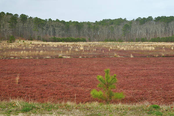 Photograph - Cape Cod Cranberry Bog by Luke Moore