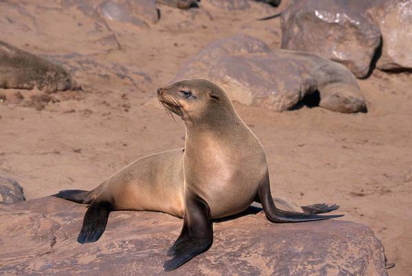 Wall Art - Photograph - Cape Fur Seal by David Hosking