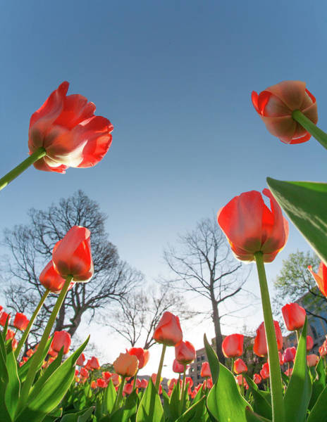 Photograph - Capitol Tulip Tops by Todd Klassy