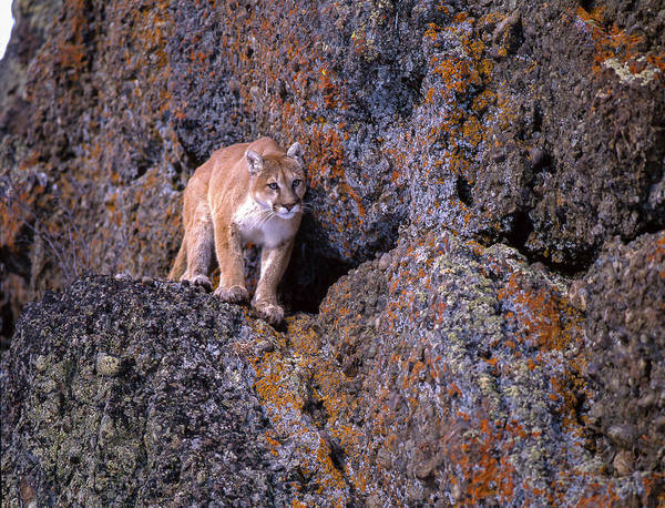 Puma Photograph - Captive Mountain Lion Against Cliff by Howie Garber