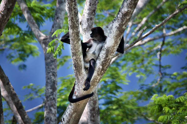 Photograph - Capuchin Monkey In Chiapas by David Resnikoff