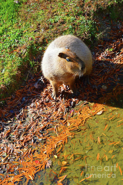 Photograph - Capybara - Cape May Zoo by Robyn King