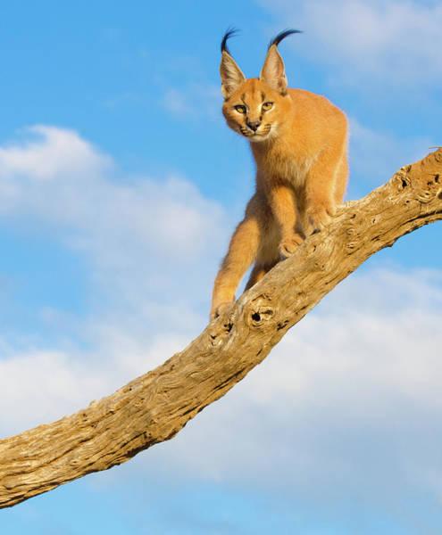 Safari Animal Photograph - Caracal Cat - South Africa by Birdimages