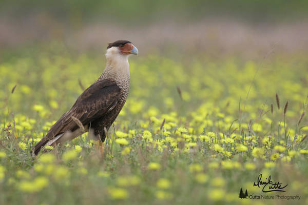 Photograph - Caracara In Spring by David Cutts