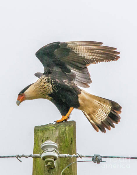 Photograph - Caracara Wing Stretch by Tom Claud