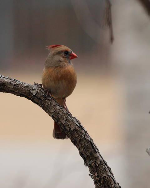 Photograph - Cardinal 5554 by John Moyer