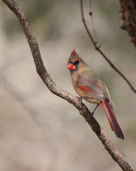 Photograph - Cardinal 5589 by John Moyer