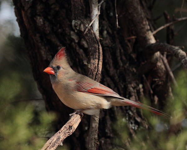 Photograph - Cardinal 5636 by John Moyer